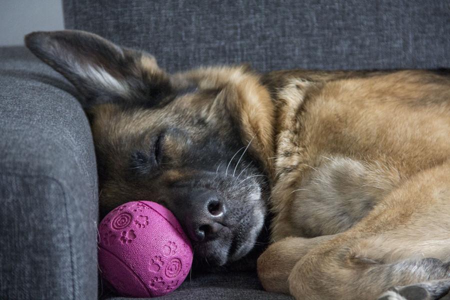 Pies wchodzi na kanapę - śpiący owczarek niemiecki