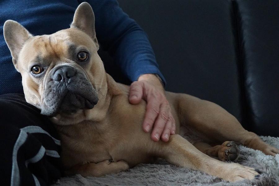 Jak zabezpieczyć kanapę przed psem - pies leżący na pokrowicu na kanapie
